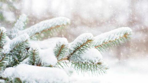 Pinheiros na floresta após uma queda de neve no inverno