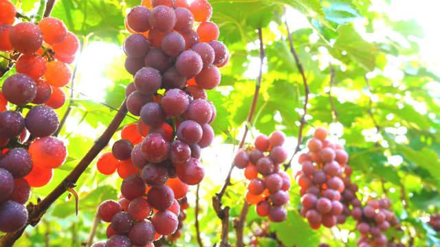 parábola da vinha